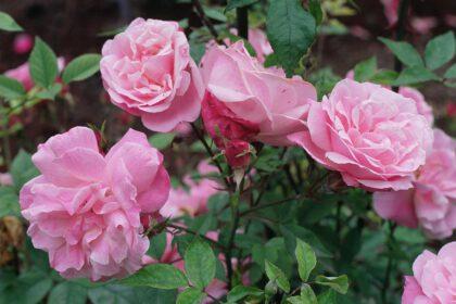 wysokogatunkowe sadzonki roz